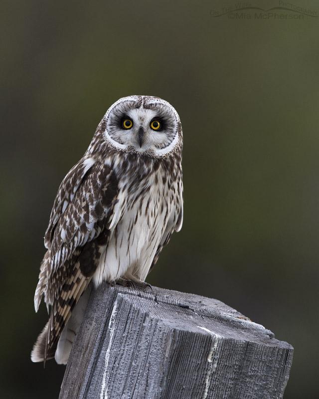 Clark County male Short-eared Owl