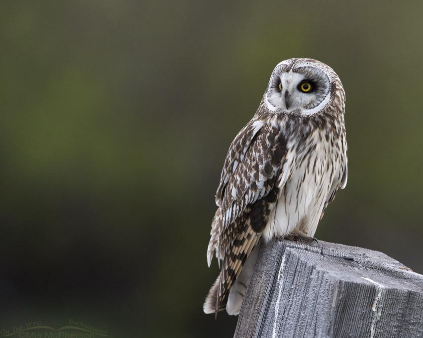 Low light Short-eared Owl male