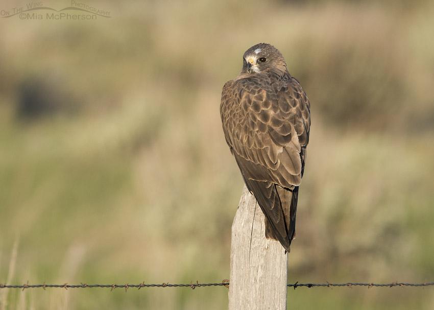 Swainson's Hawk in Golden Light