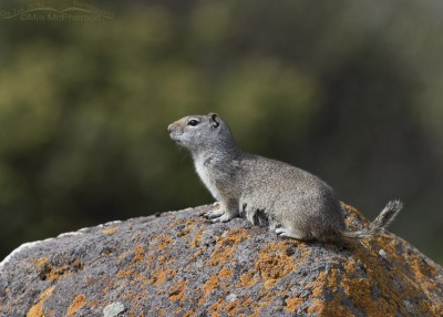 Alert Uinta Ground Squirrel