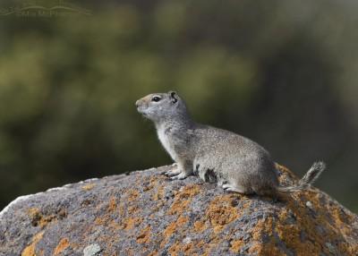 Alert Uinta Ground Squirrel