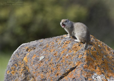 Calling Uinta Ground Squirrel