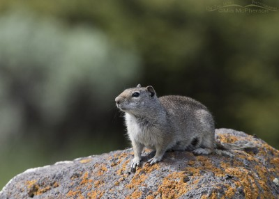 Uinta Ground Squirrel on lichen covered boulder
