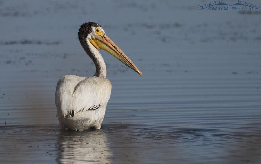 American White Pelican in Supplemental Plumage