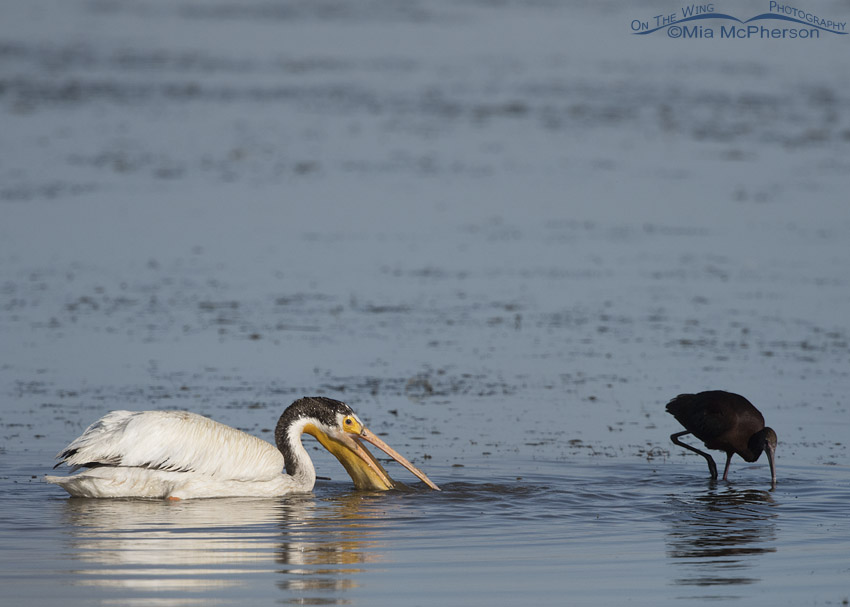 Side view of an American White Pelican in an extreme variation of Supplemental Plumage