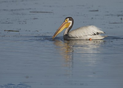 American White Pelican in Summer or Supplemental Plumage