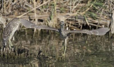 Juvenile Black-crowned Night Heron Lifting Off