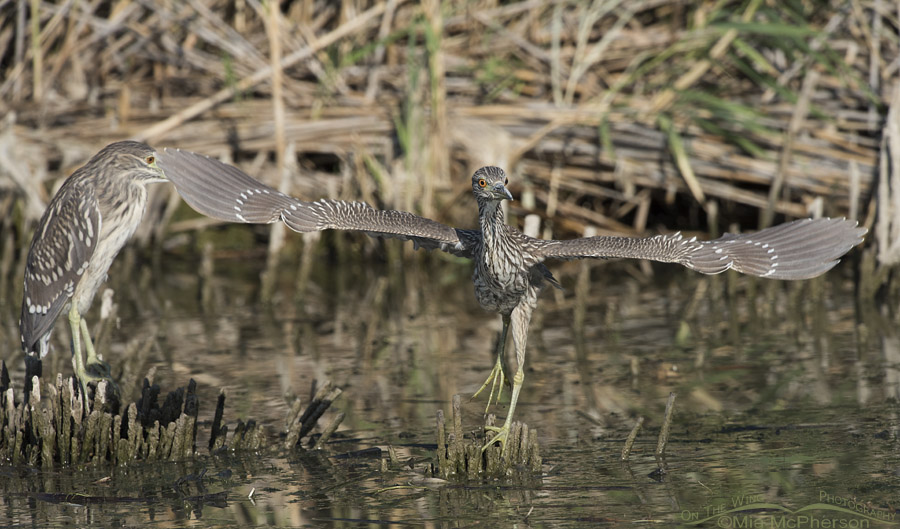 Juvenile Black-crowned Night Heron Lifting Off