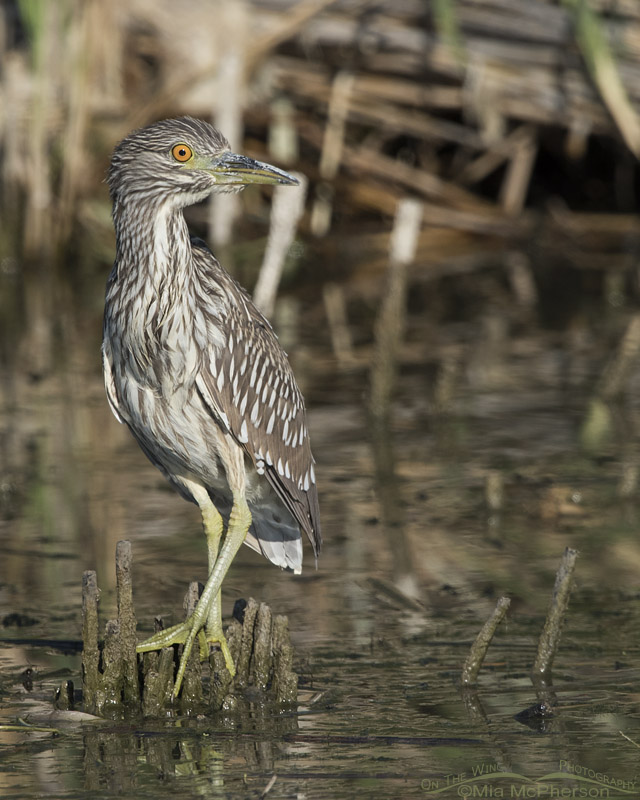 Watchful Black-crowned Night Heron juvenile