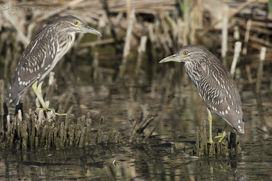 Pair of juvenile Black-crowned Night Herons at Bear River