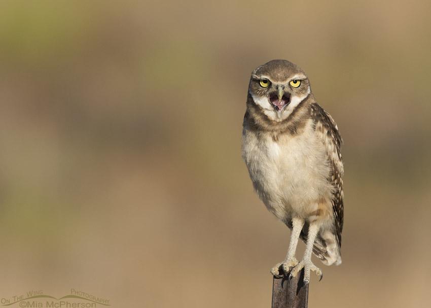 Yawning juvenile Western Burrowing Owl