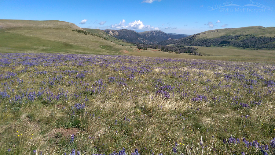 Lupines on Gravelly Range Road