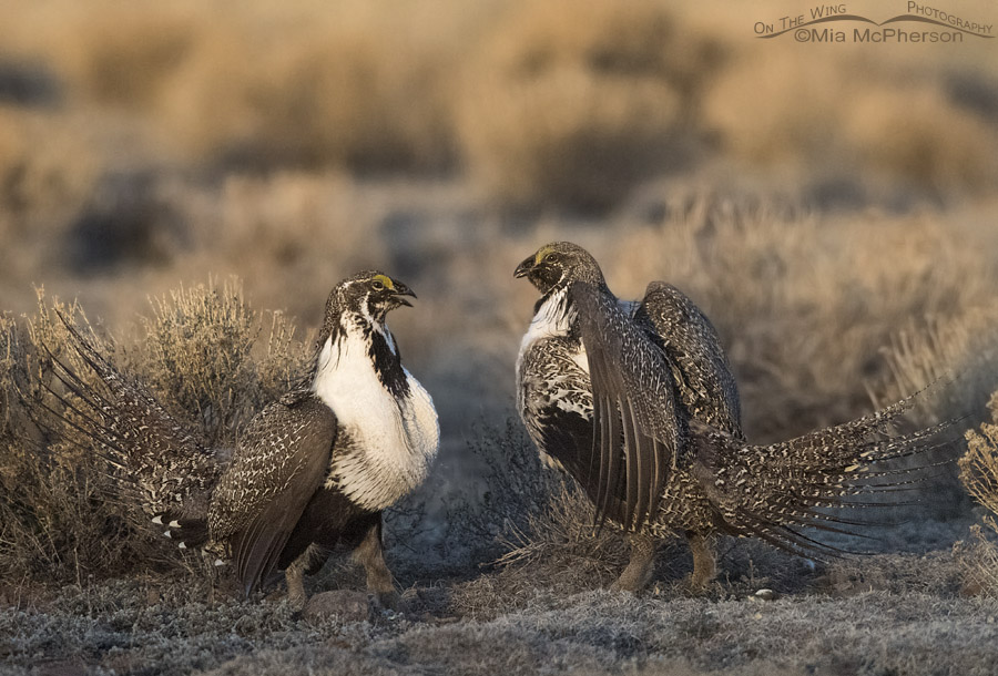 Greater Sage-Grouse battle at daybreak
