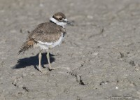 Killdeer chick on a mudflat