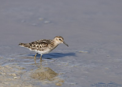 Least Sandpiper foraging in an alkali pond