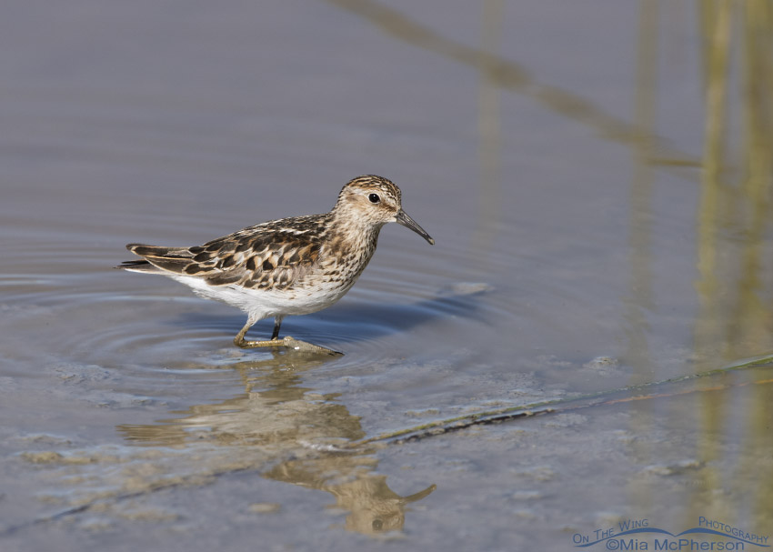 Least Sandpiper in Beaverhead County
