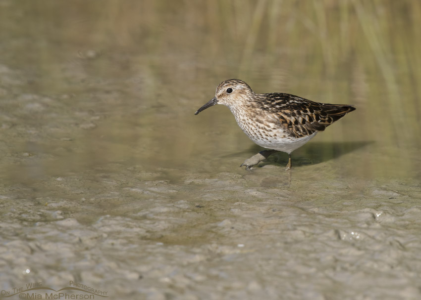 Least Sandpiper with a mud-covered foot