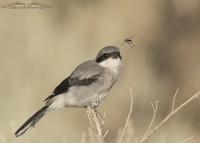 Loggerhead Shrike juvenile looking at a Robber Fly
