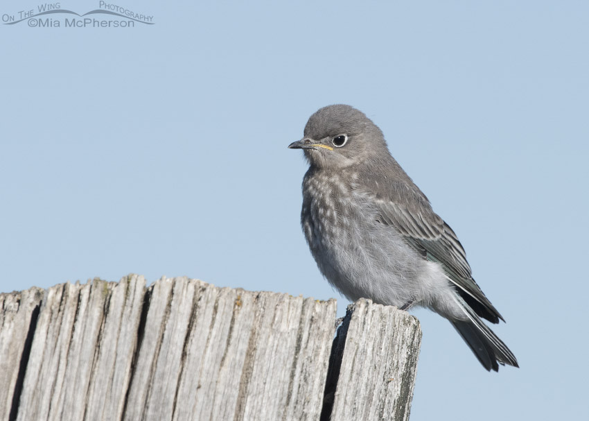Mountain Bluebird juvenile on a large fence post