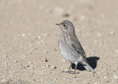 Juvenile Mountain Bluebird on a gravel road