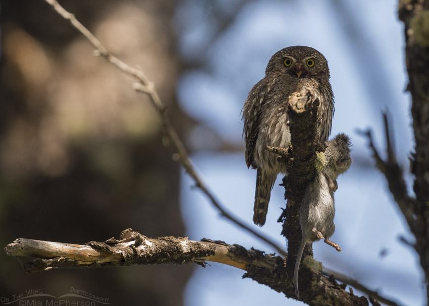 Northern Pygmy Owl with prey