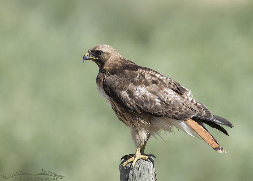 Red-tailed Hawk near Lima, Montana