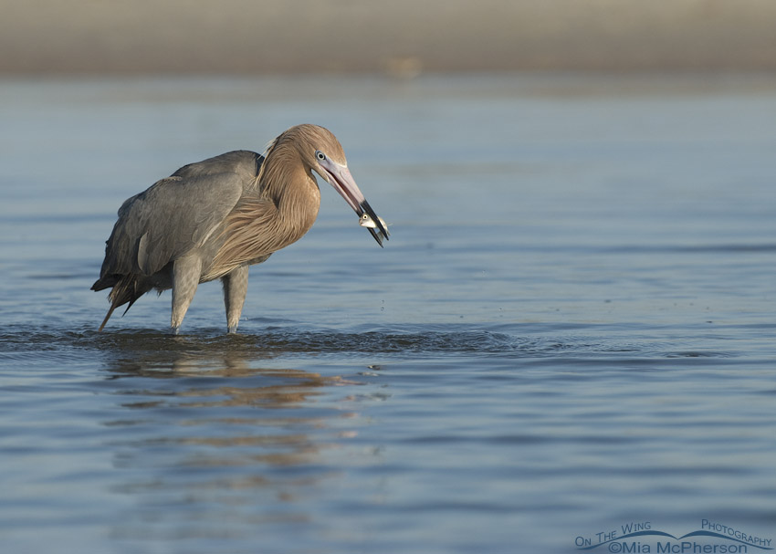 Reddish Egret with prey in a lagoon