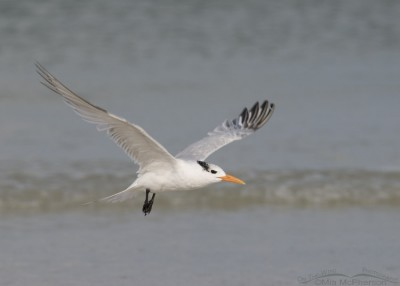 Nonbreeding Royal Tern in flight