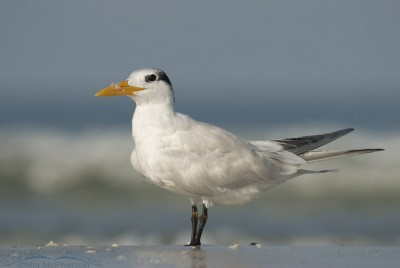 Regal Royal Tern Adult nonbreeding plumage