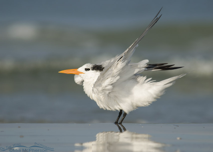 Shaking Royal Tern adult