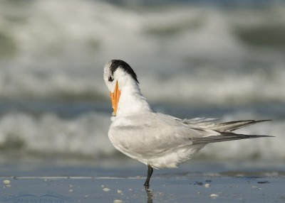 Preening adult Royal Tern