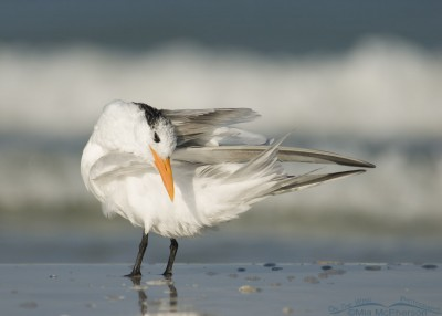 Royal Tern preening by the Gulf