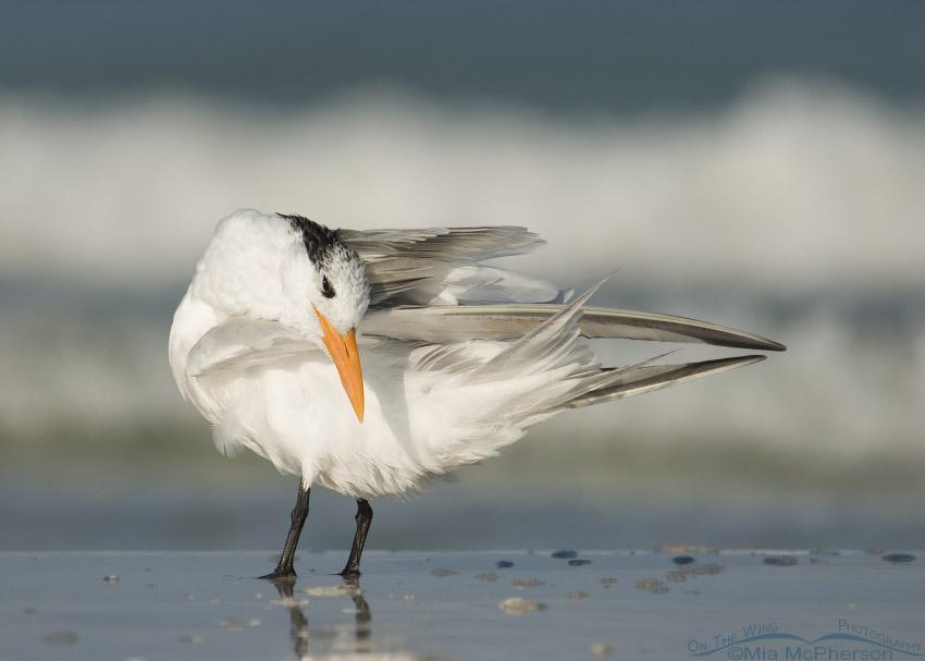 Royal Tern preening by the Gulf
