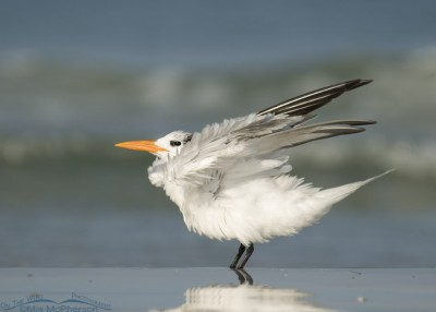 Adult Royal Tern shaking its feathers