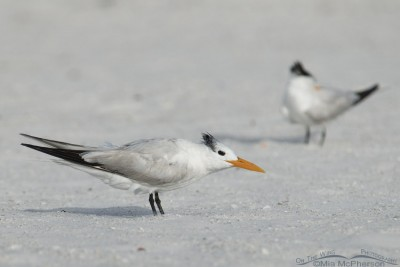 Royal Terns on the south spit of Fort De Soto