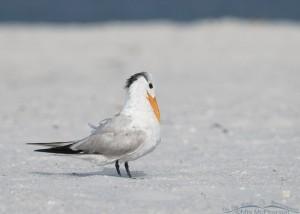 Adult Royal Tern on the beach