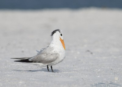 Adult Royal Tern on the beach