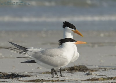 Royal Tern courtship behavior
