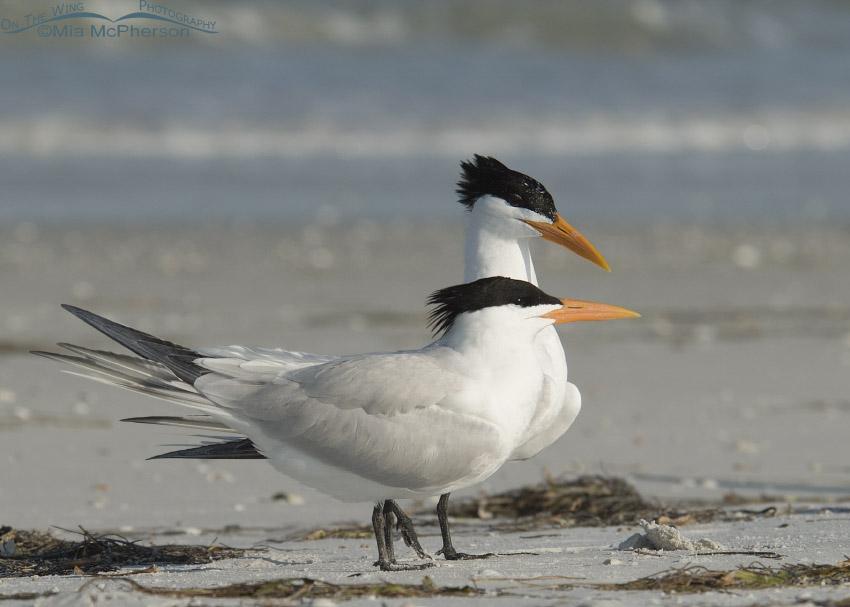 Royal Tern courtship behavior