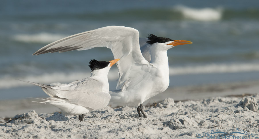 Courting Royal Terns on the beach