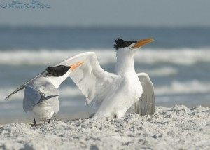 Pair of Royal Terns courting