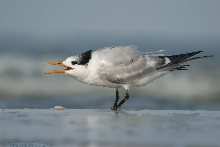 "Juvenile Royal Tern ""Feed Me"" dance"