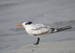Juvenile Royal Tern on a small dune