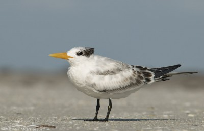 Young Royal Tern