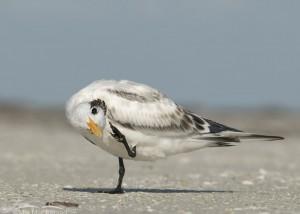 Scratching juvenile Royal Tern
