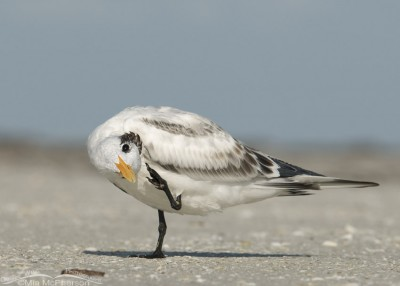 Scratching juvenile Royal Tern