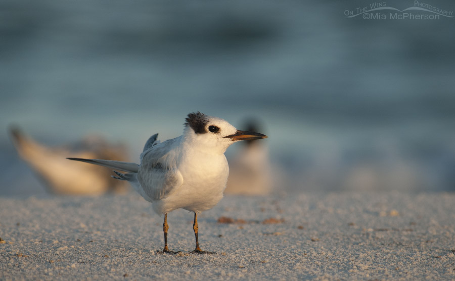 Juvenile Royal Tern at daybreak