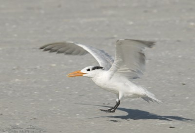 Royal Tern landing on a beach