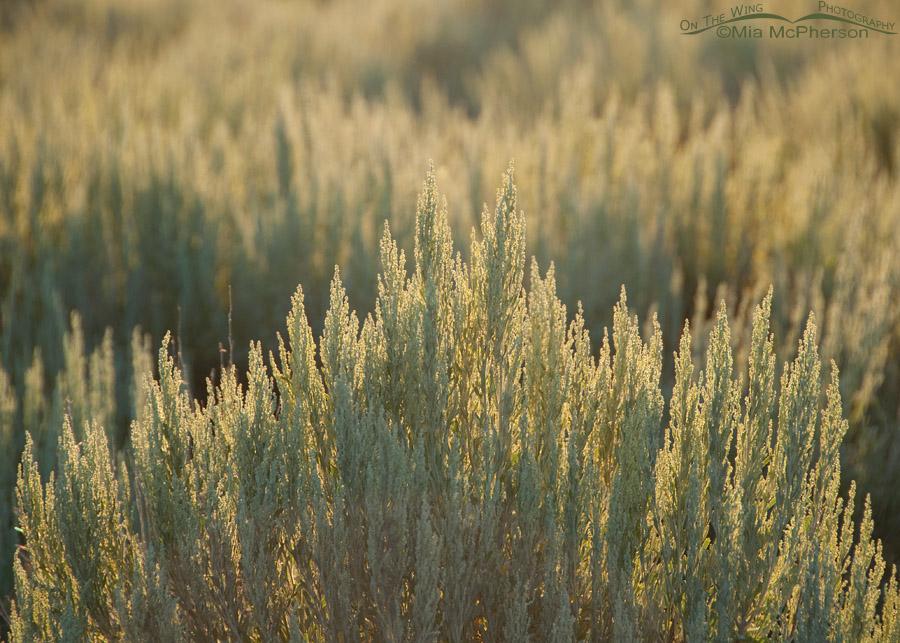 Silver Sagebrush at sunrise