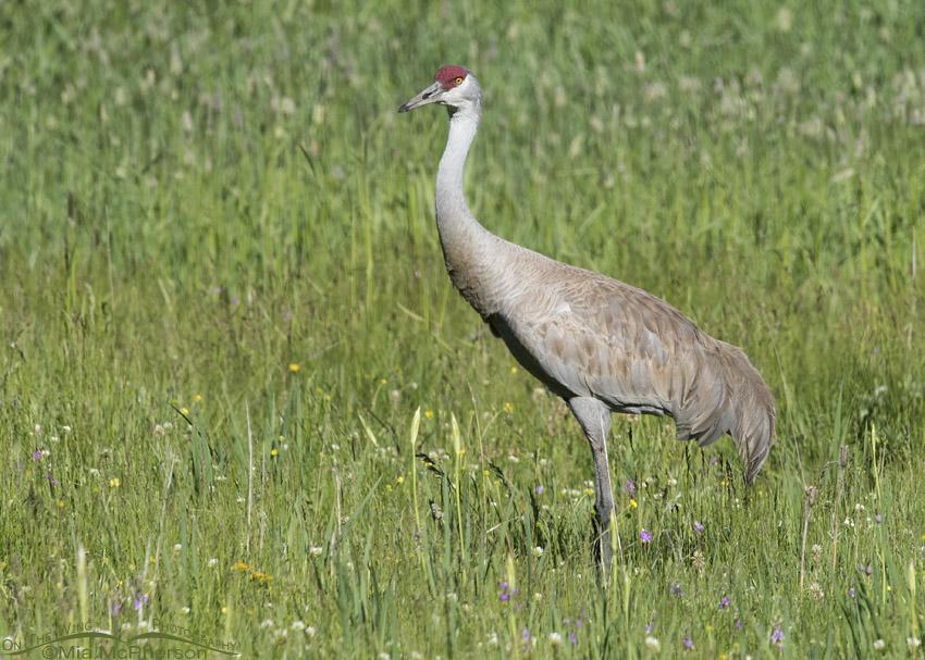 Male Sandhill Crane in a wet meadow